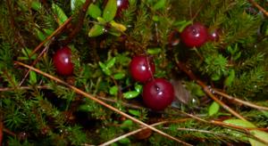 Клюква — состав болотной ягоды