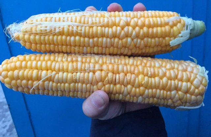 Кукуруза для попкорна – выбора сорта до и приготовление