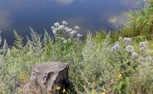 Полынь понтийская: очевидная польза растения
