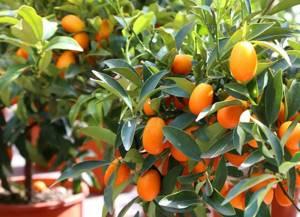 Кумкват – о пользе японского мандарина и его роль в кулинарии