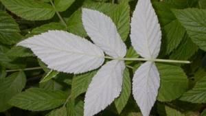 Листья малины – заготавливаем самостоятельно и лечимся