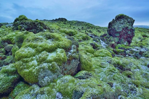 Исландский мох от кашля: как заваривать и правильно принимать, можно ли употреблять детям