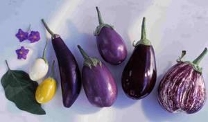 Баклажаны: польза и вред давно знакомого продукта