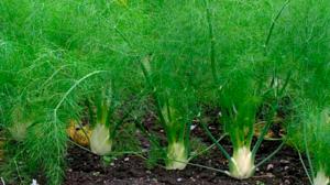 Плоды фенхеля – польза и способы использования