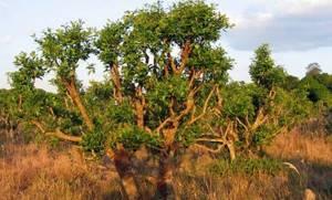 Йохимбе: возможности любовного дерева