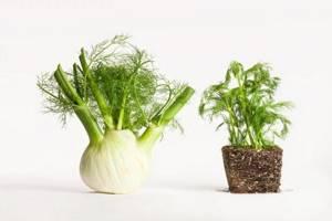 Фенхель и укроп: в чем разница между одинаковыми на первый взгляд растениями?