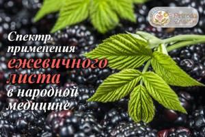 Листья ежевики – полезные свойства и противопоказания лекарственного сырья