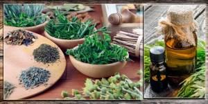 Полынь лимонная: полезные свойства листьев, корня и эфирного масла