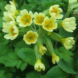Первоцвет-полезные свойства и противопоказания к применению