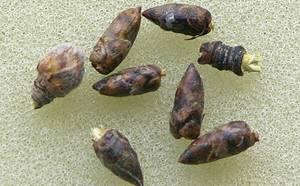Березовые почки - применение при различных заболеваниях