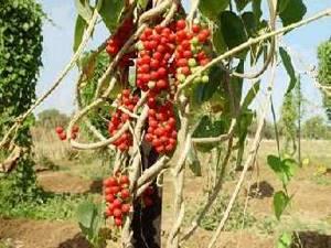 Гудучи –растение, способное исцелить и наполнить энергией