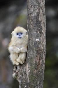 Чай Золотая обезьяна - один из десяти лучших чаёв Азии и Европы