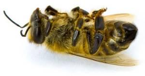 Мертвые пчелы - применение в лечебных целях