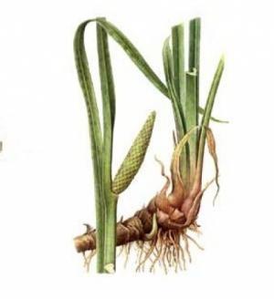 Аир болотный: целебные свойства и использование в народной медицине