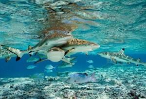 Акулий жир: целебное действие для суставов и всего организма, различные формы выпуска и где можно купить настоящий товар