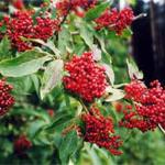 Бузина черная: лечебные свойства и противопоказания, описание растения и применение при лечении онкологии