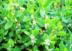 Глюкоманнан – удивительное растение для борьбы с лишним весом