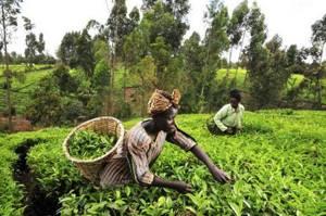 Кенийский чай: свойства и правила заваривания