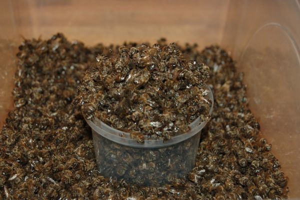 Пчелиный подмор от простатита: как приготовить эффективное средство для восстановления мужского здоровья