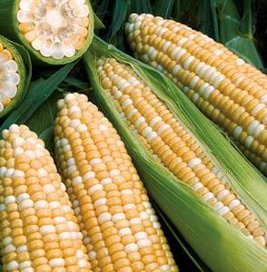 Чем полезна кукуруза и способна ли она причинить вред