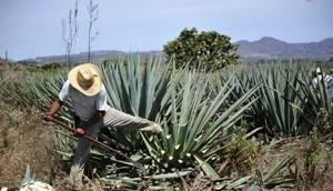 Сок агавы – эликсир здоровья и красоты