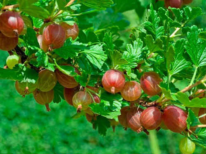 Ткемали из крыжовника – феерия вкуса и аромата в небольшой баночке