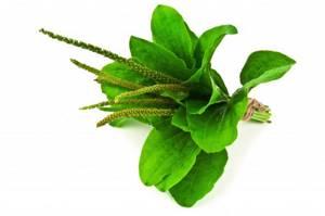 Семена подорожника — лечим бесплодие и не только