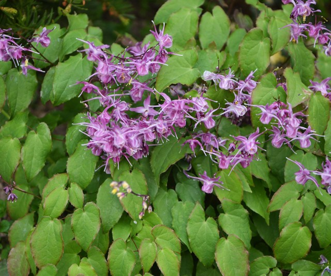 Горянка крупноцветковая: лечебные свойства и способы применения