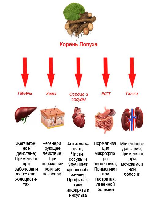 Корень лопуха: применение для восстановления здоровья