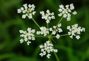 Анис обыкновенный: использование в качестве лекарственного средства и приправы