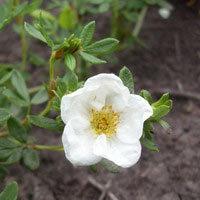 Лапчатка белая – полезные свойства и противопоказания лекарственного растения