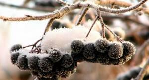 Когда собирать черноплодную рябину: правила уборки и хранения урожая, можно ли замораживать