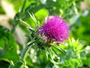 Расторопша пятнистая:  в чем схожесть и отличия от чертополоха, применение шрота и плодов