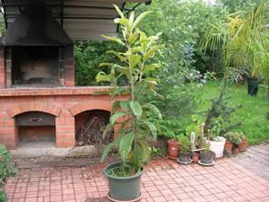 Мушмула: польза и выращивание дома