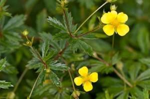 Лапчатка прямостоячая – лечебные свойства и применение препаратов растения