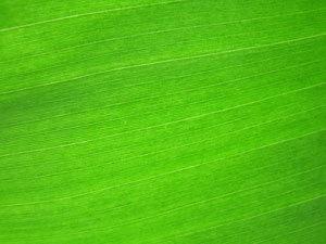 Хлорофилл: польза и вред зеленой крови растений, где содержится в больших количествах, как правильно принимать