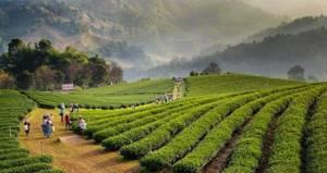 Чай из Таиланда: изумрудный, Пуэр, Матум, синий чай, Да ХунПао
