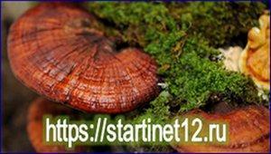 Чай с грибом рейши – чудесный эликсир востока в современном мире