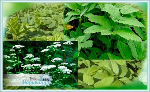 Сныть: полезные свойства и противопоказания этого растения известны издревле