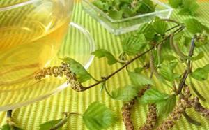 Отвар березовых листьев: разноплановое лечебное действие