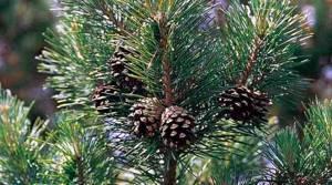Отвар из сосновых иголок и других элементов этого дерева