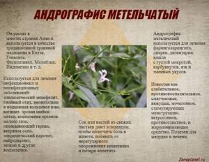 Андрографис метельчатый: лечебные свойства и применение