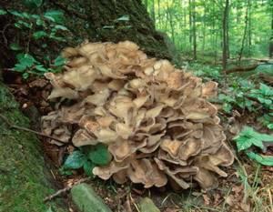Солгар: экстракт грибов рейши, шиитаке, мейтаке – уникальные иммуностимулирующие и противораковые свойства, где купить и отзывы покупателей