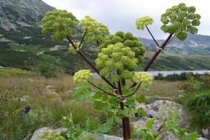 Дягиль – трава жизни и ее помощь нам