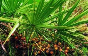Карликовая пальма: польза для мужчин и женщин, описание пальмы сабаль, почему на родине она называется ползучей