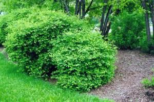 Листья жимолости: полезные свойства и противопоказания кустарника