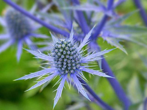 Синеголовник – полезные и магические свойства