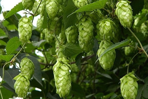 Шишки хмеля — целебные свойства лекарственного растения