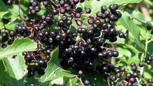 Бузина: сироп, ягоды и цветки-что используют в лечебных целях и какими полезными свойствами обладает растение