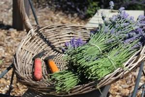 Лаванда: где растет и как выглядит, как высушить цветы и использовать в домашних условиях